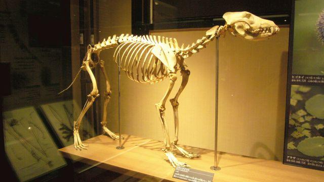 El extinto Lobo de Honshu