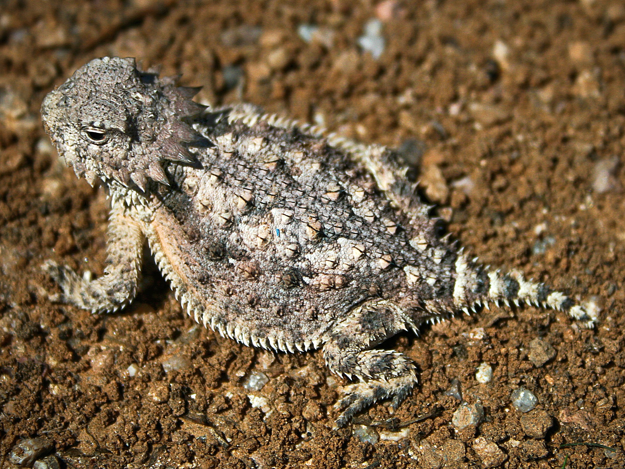 Desert Horned Toad
