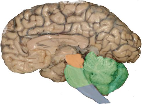 Filehuman Brainstem Sagittal Viewg Wikimedia Commons