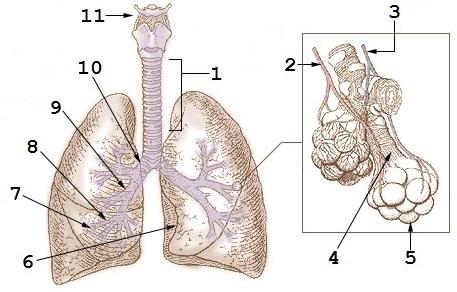 Pulmones - Wikiwand