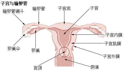 生理前 子宮口