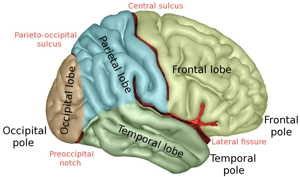 22c cerebral cortex yas psych txtbk