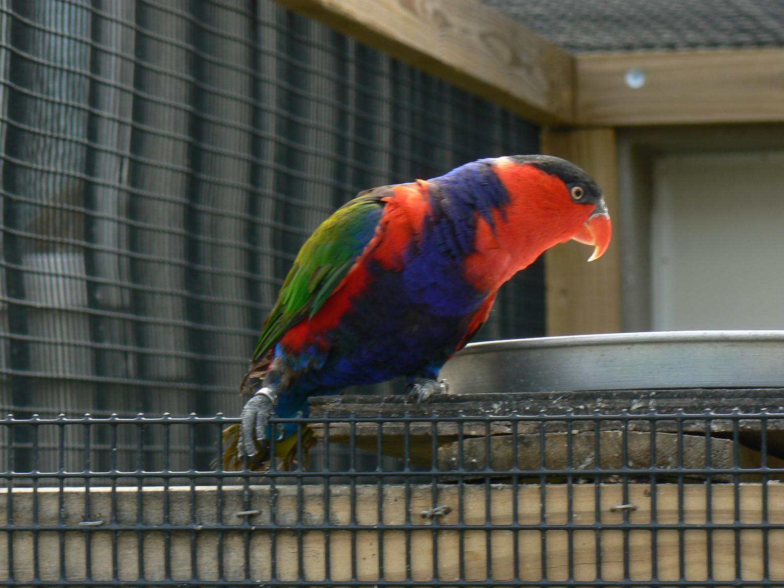 File:Lorius lory -Tanganyika Wildlife Park-8a jpg - Wikimedia Commons
