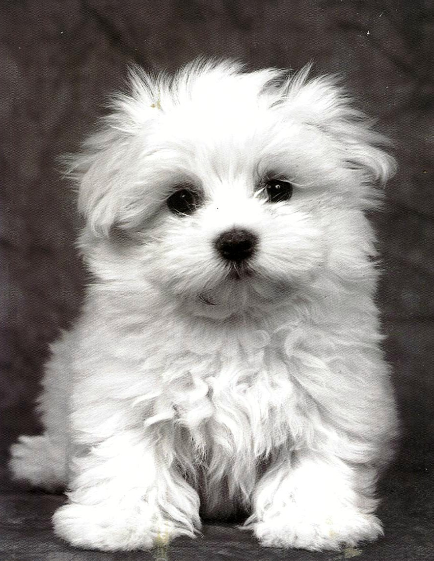 Picture Of Bichon Frise Dog Do They Get Big