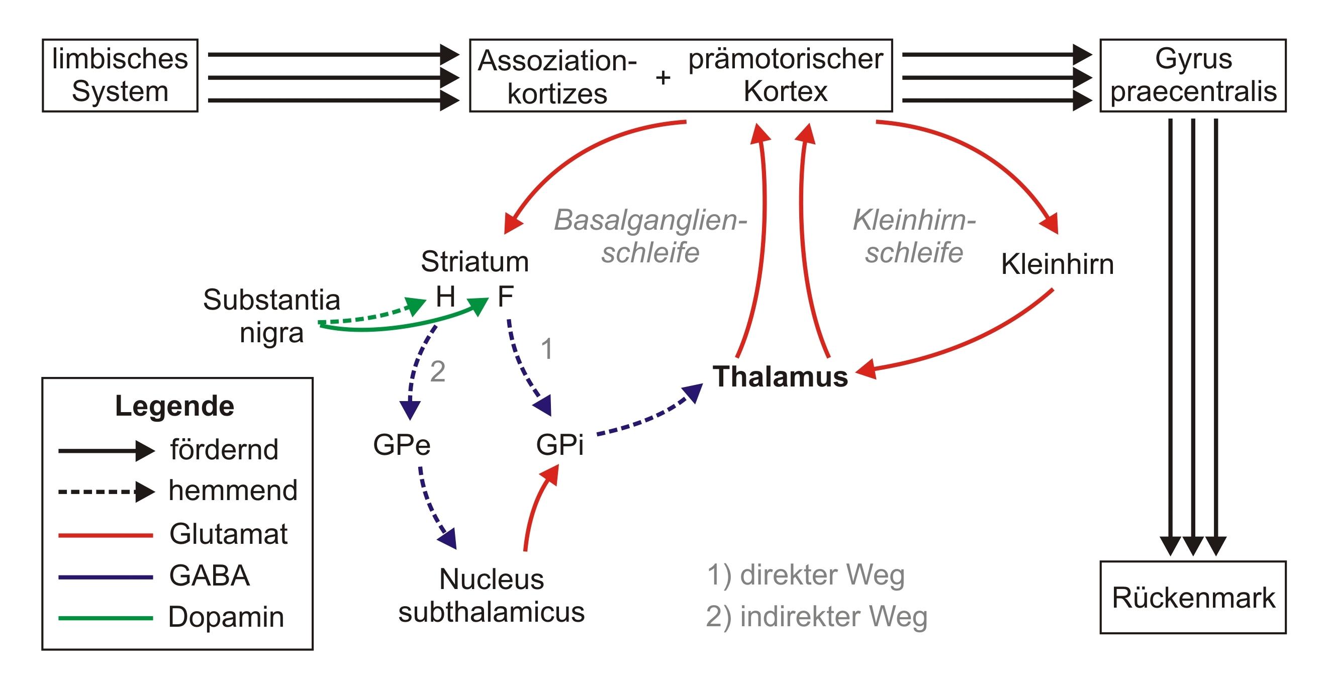 Datei:Motorische Schleifen.JPG – Wikipedia