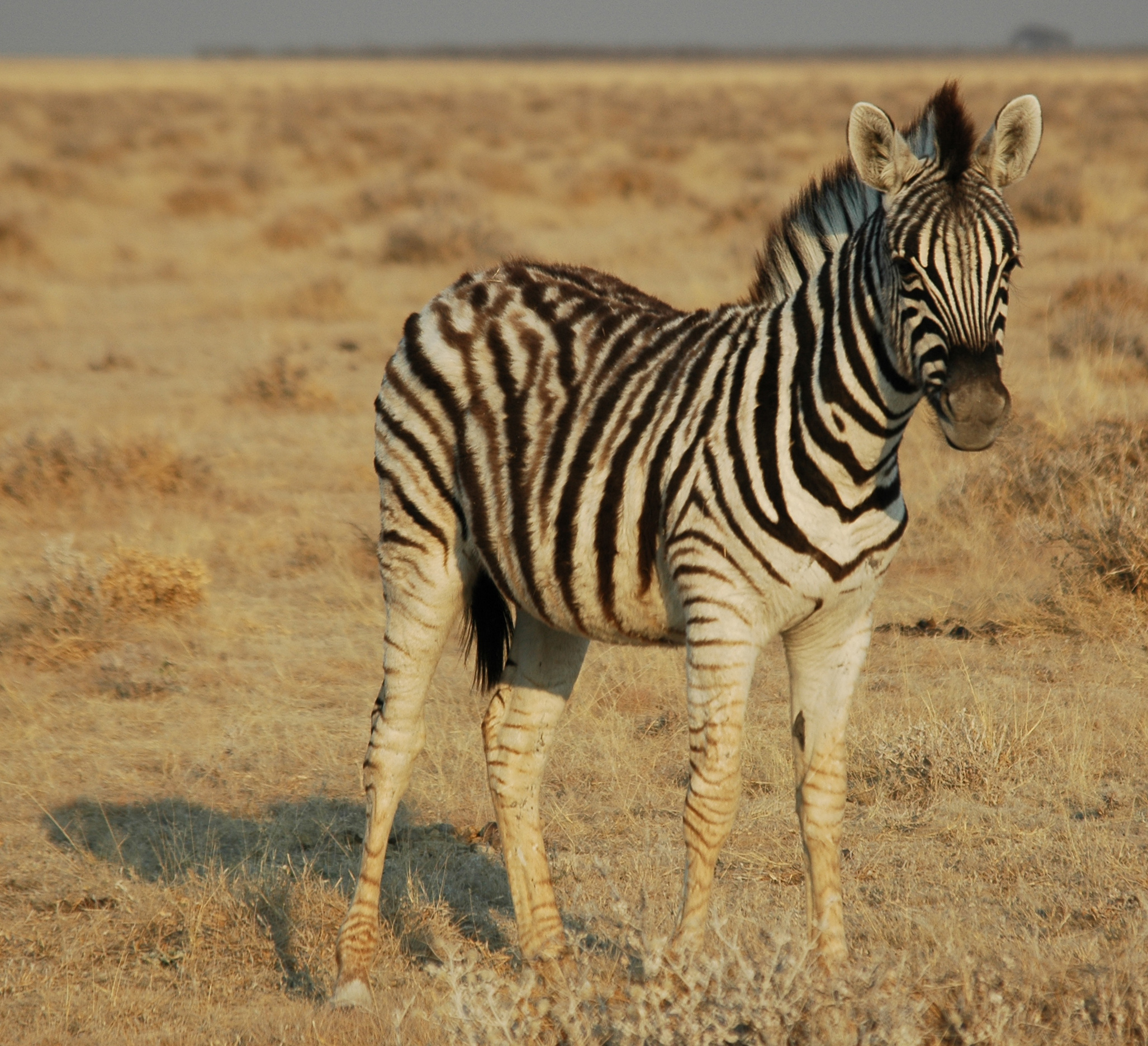 fichier namibie etosha zebre 02 jpg wikip dia. Black Bedroom Furniture Sets. Home Design Ideas