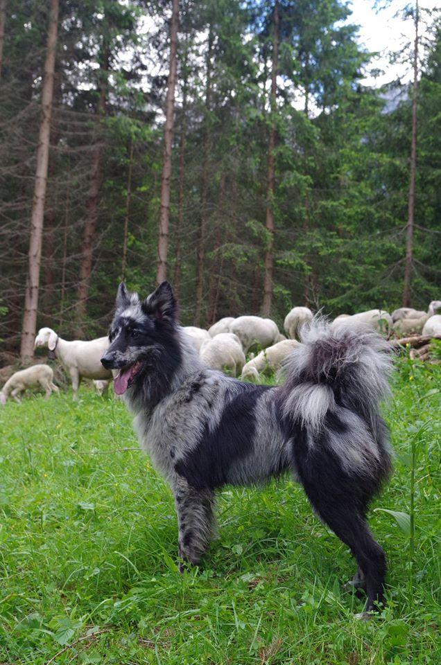 cane da pastore della lessinia e del lagorai wikipedia