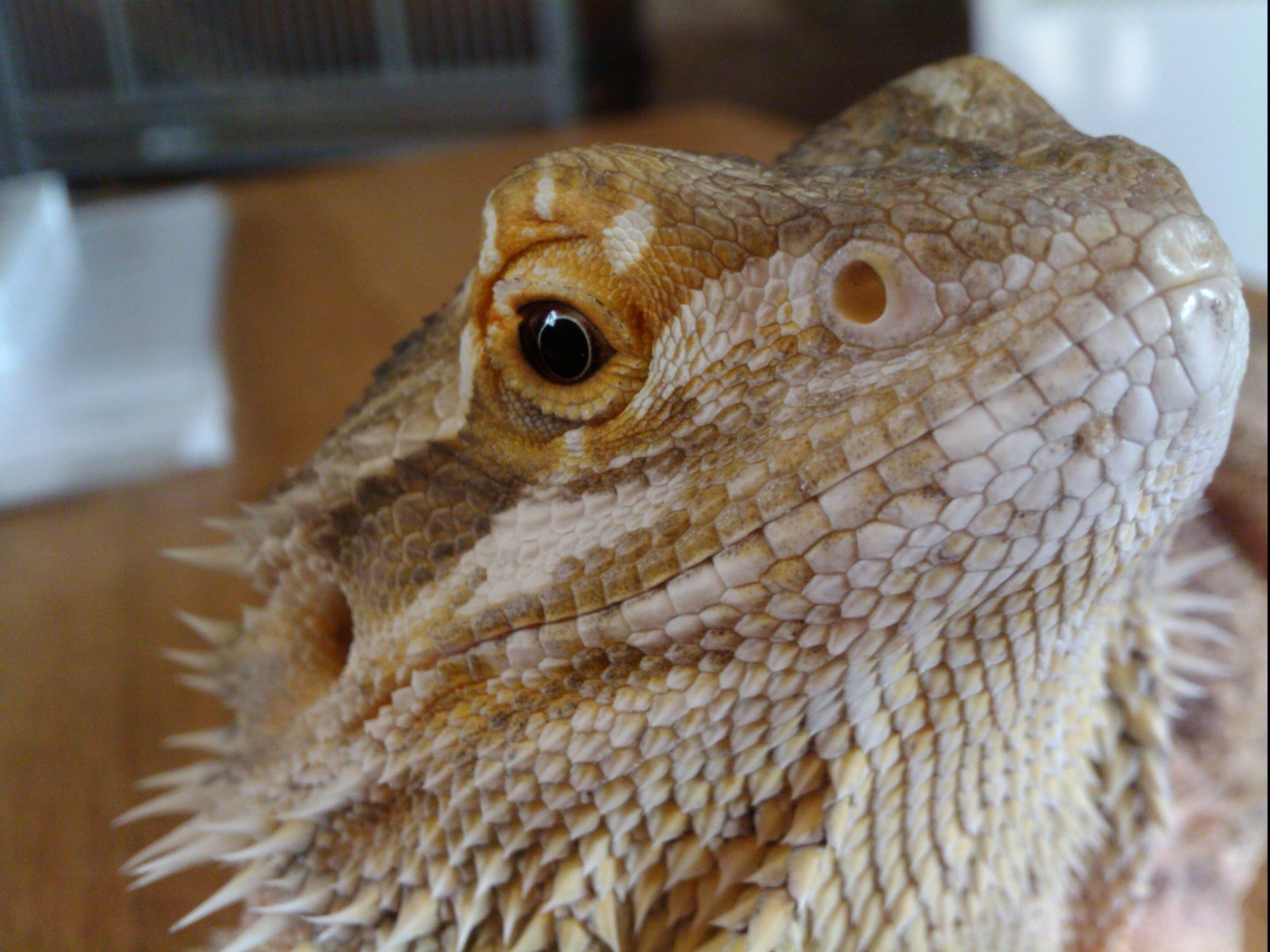 Bearded Dragon Will They Make My Dog Sick