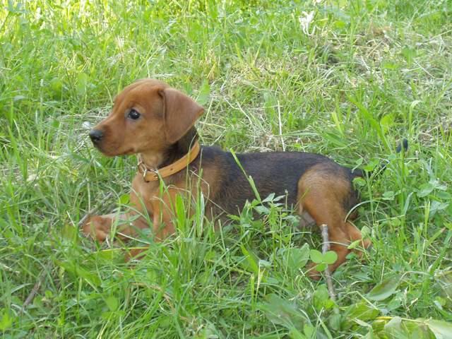 File:Pinscher puppy 2.jpg - Wikipedia
