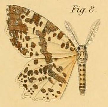 Tập tin:Pl.2-08-Endropia nachtigalii=Narthecusa tenuiorata nachtigalii (