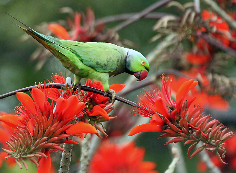 Rose-ringed Parakeet (Psittacula krameri) feeding on Indian Coral Tree at Kolkata I IMG 3989.jpg