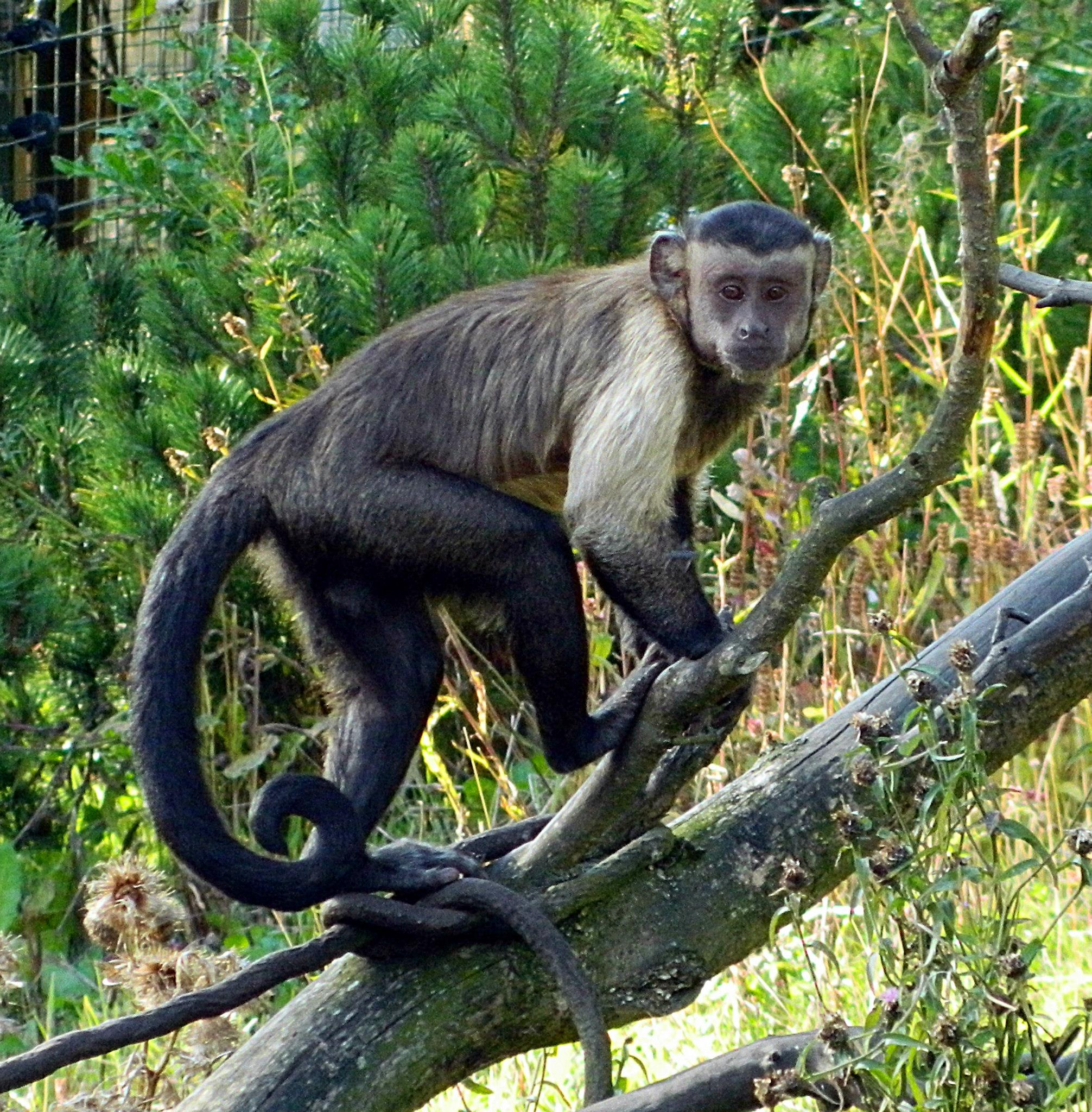 a look at the primate margarita capuchin monkeys sapajus apella margaritae Need writing haplorhine primates essay use our essay writing services or get access to database of 58 free essays samples about haplorhine primates signup now and.