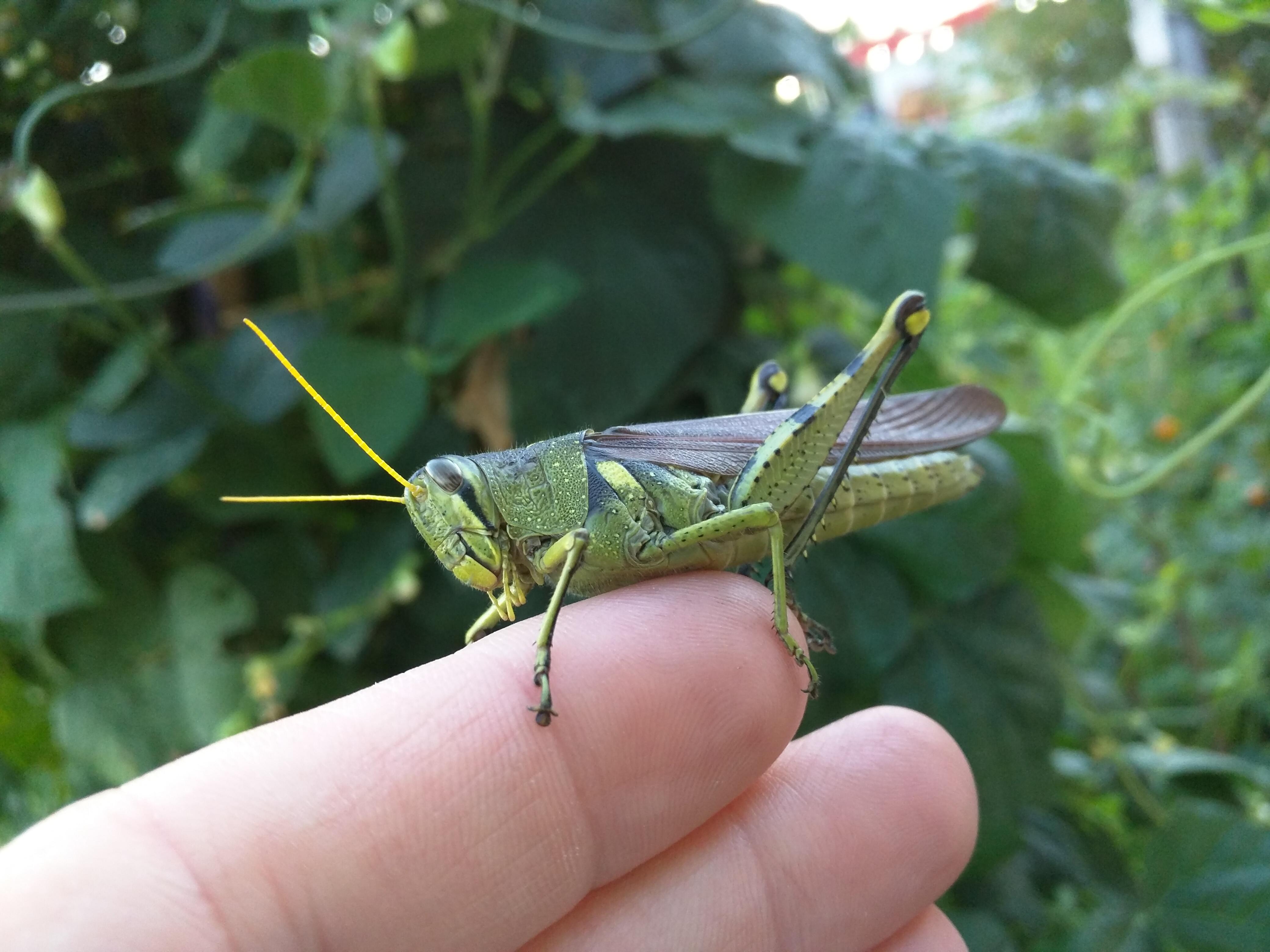 Rusty Bird Grasshopper (Schistocerca alutacea)