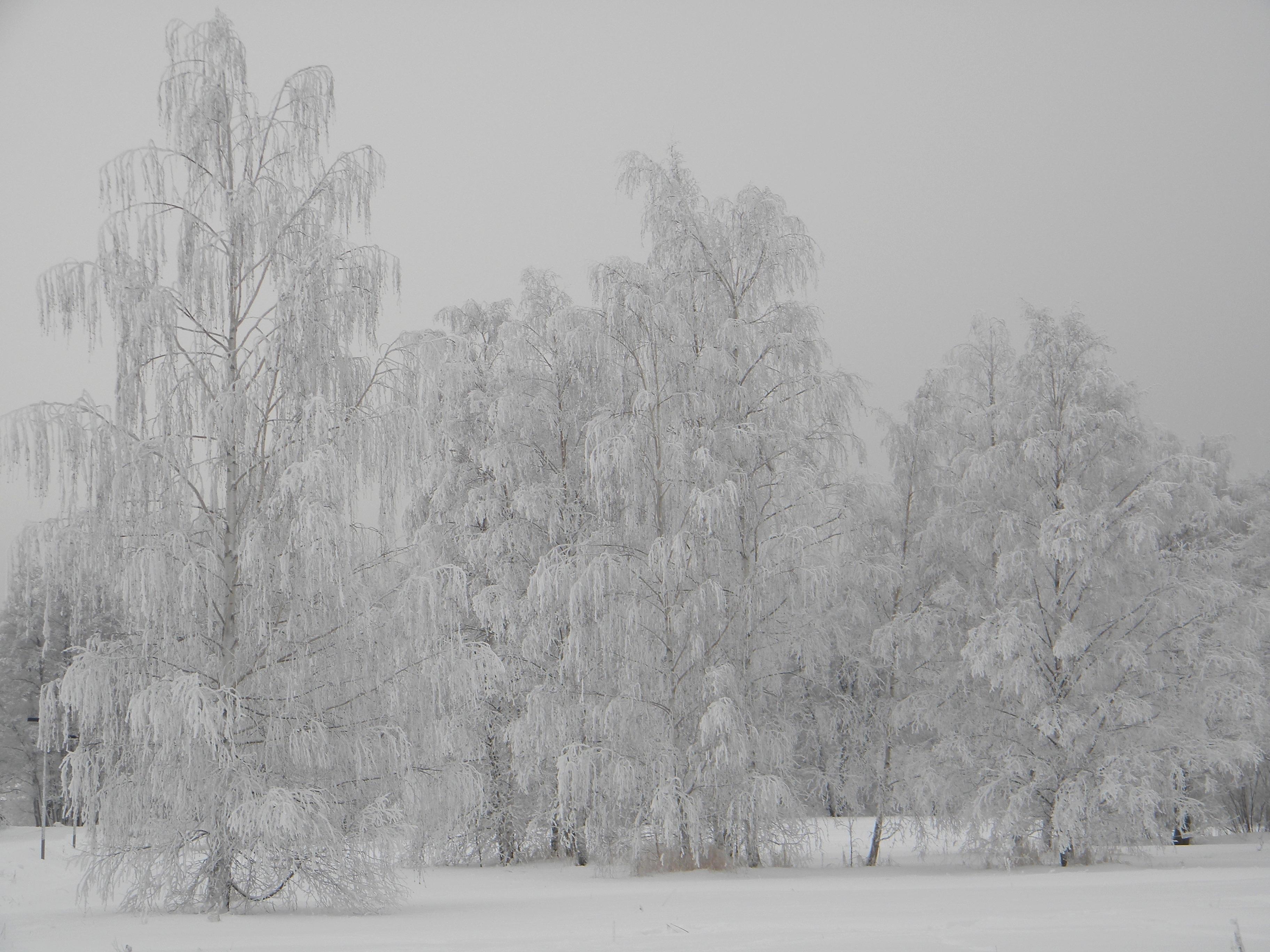 File:Silvered frosty trees in winter wonderland Helsinki 2 ...