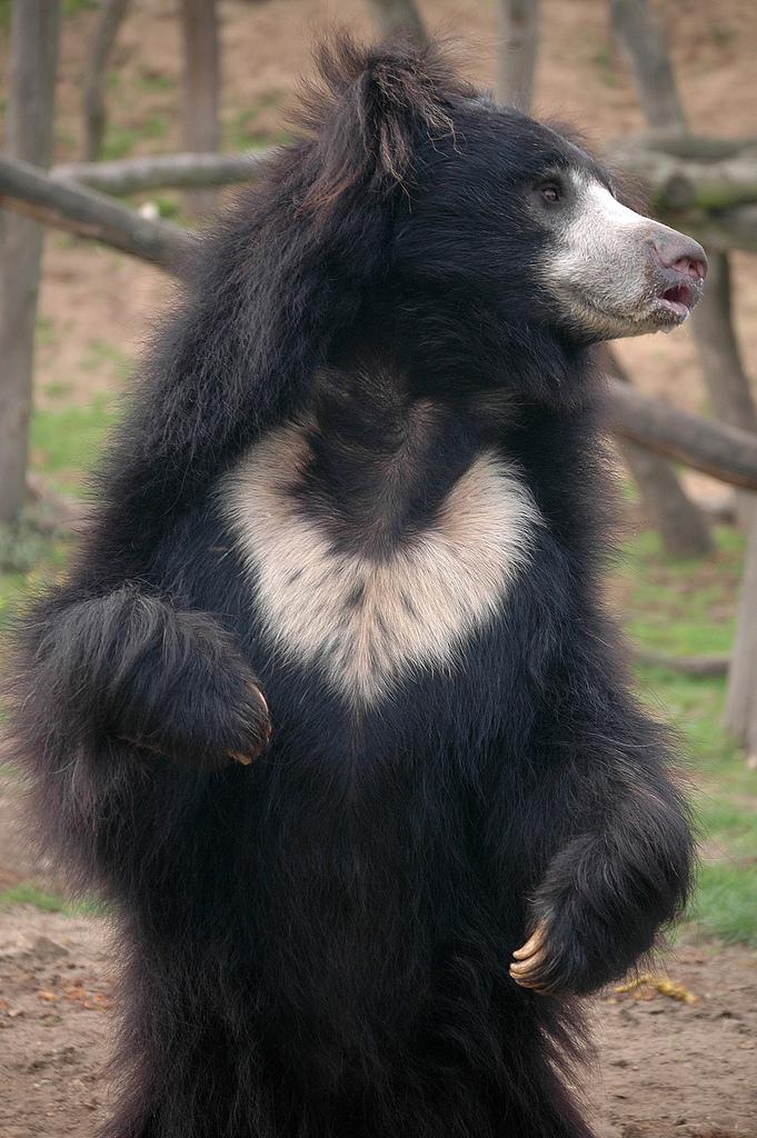 sloth bear photos