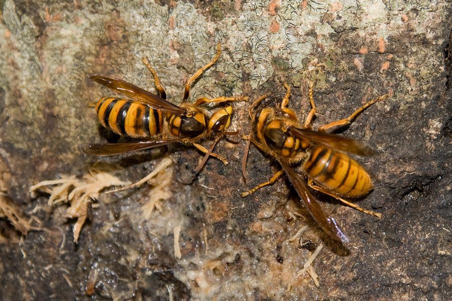 亜種キイロスズメバチ