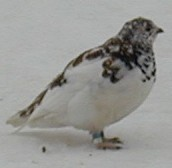 White-tailed Ptarmigan.jpg