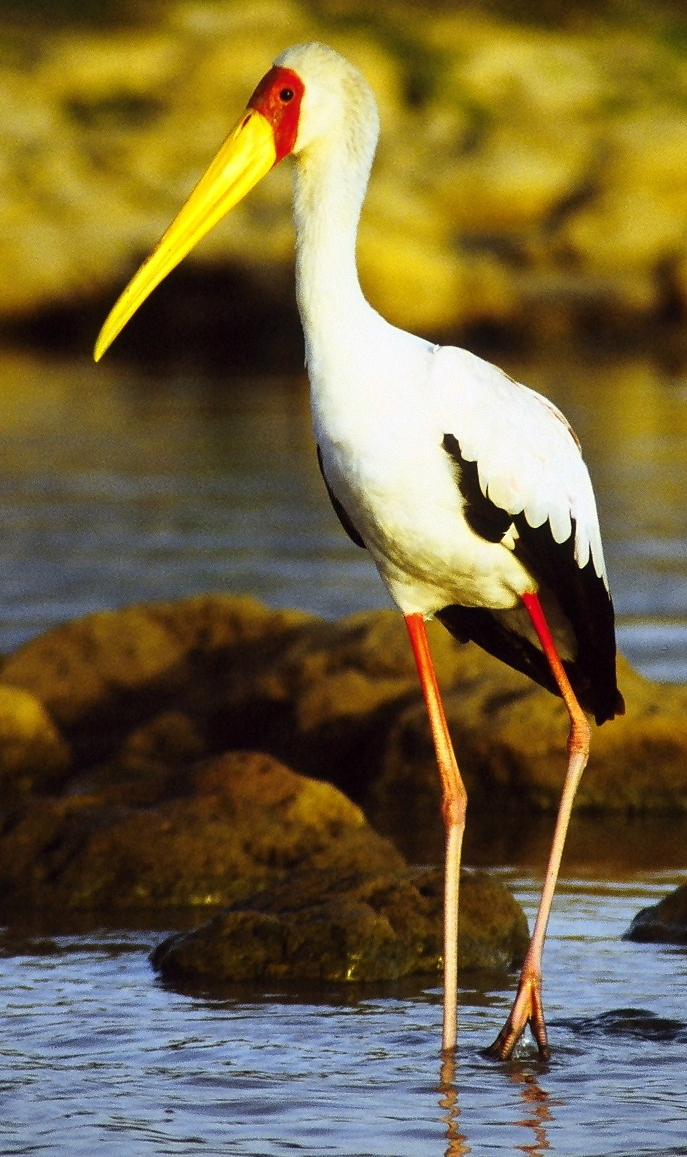File Yellow Billed Stork Standing Cropped Jpg Wikimedia Commons