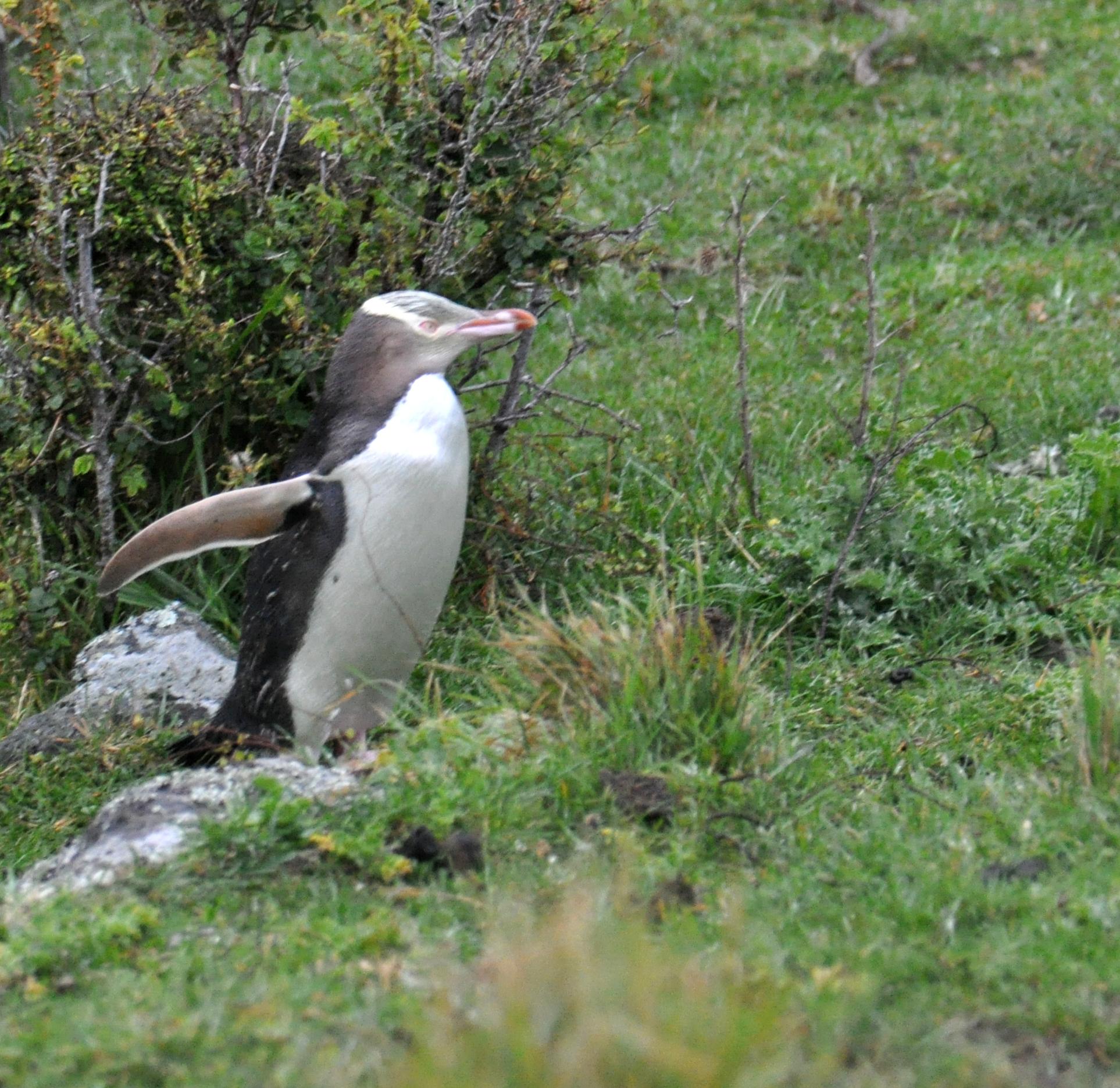 File:Yellow-eyed Penguin Banks Peninsula 1.jpg - Wikimedia Commons