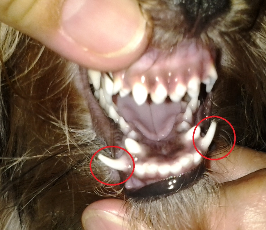 File:Yorkie's Retained Deciduous or Baby Fangs.jpg - Wikimedia Commons