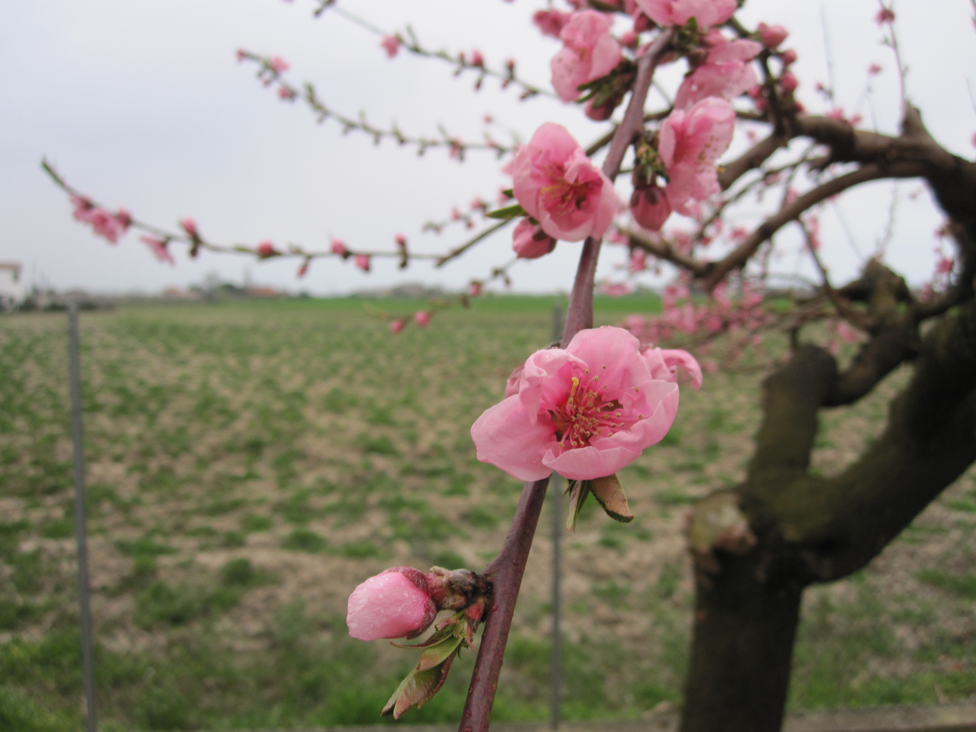 File 13 italy peaches in bloom spring flowers of tree fruit file 13 italy peaches in bloom spring flowers of tree fruit mightylinksfo Images
