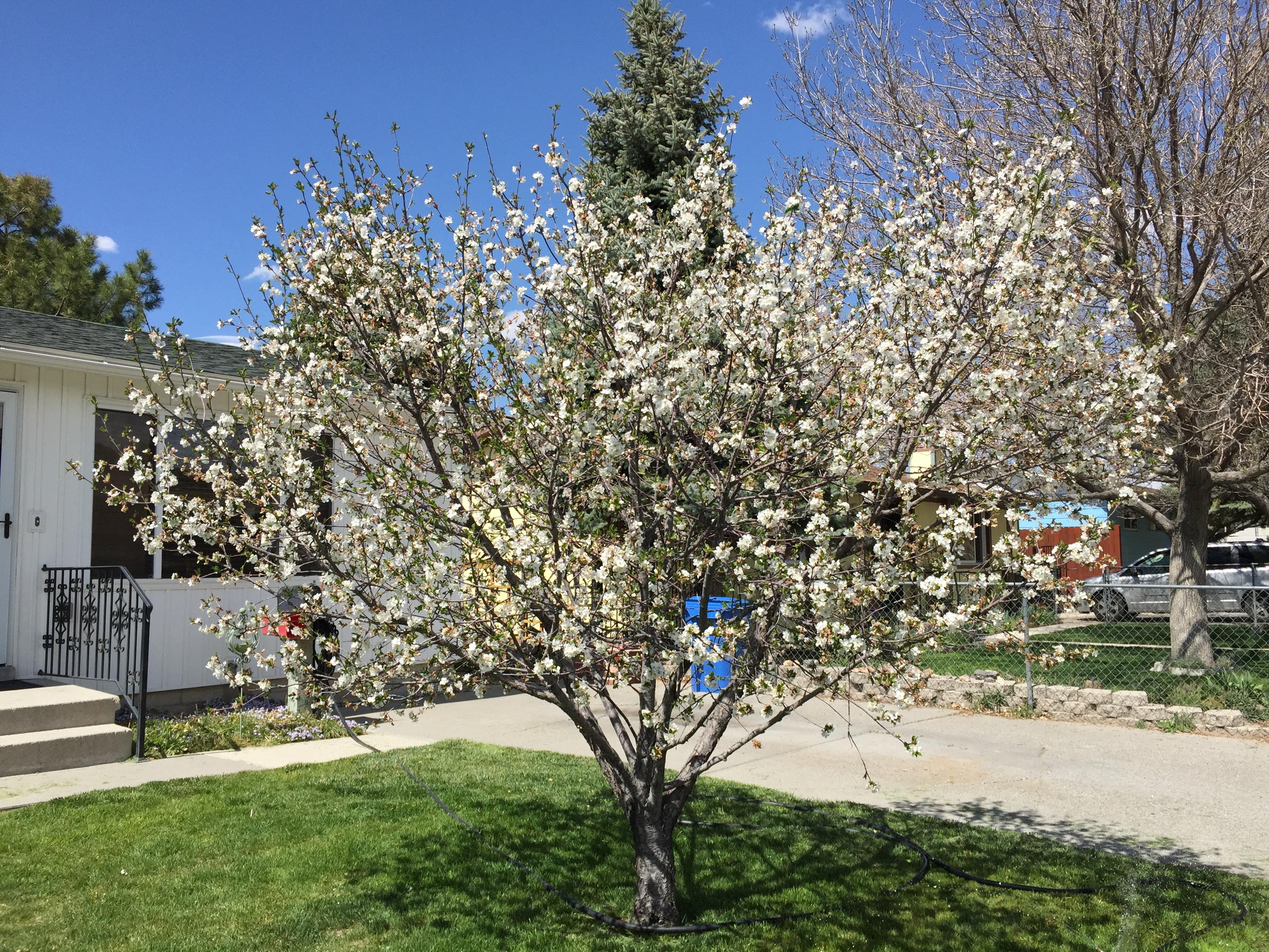 File2015 05 01 14 16 13 White Flowering Crabapple In Bloom Along