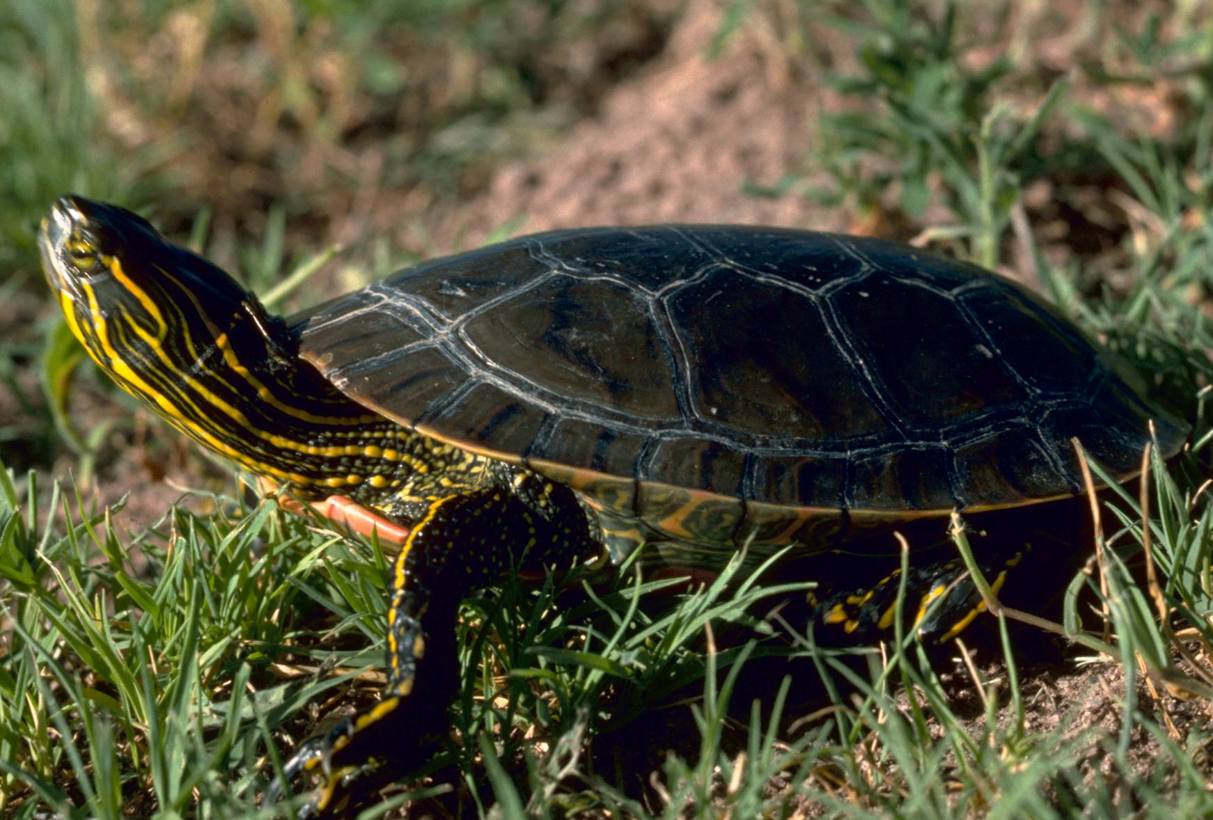 What Type Of Food Do South African Baby Turtles Eat