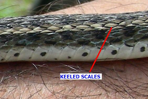 File ab033 buff striped keeled scales1 jpg wikimedia commons for Mlf fishing scale