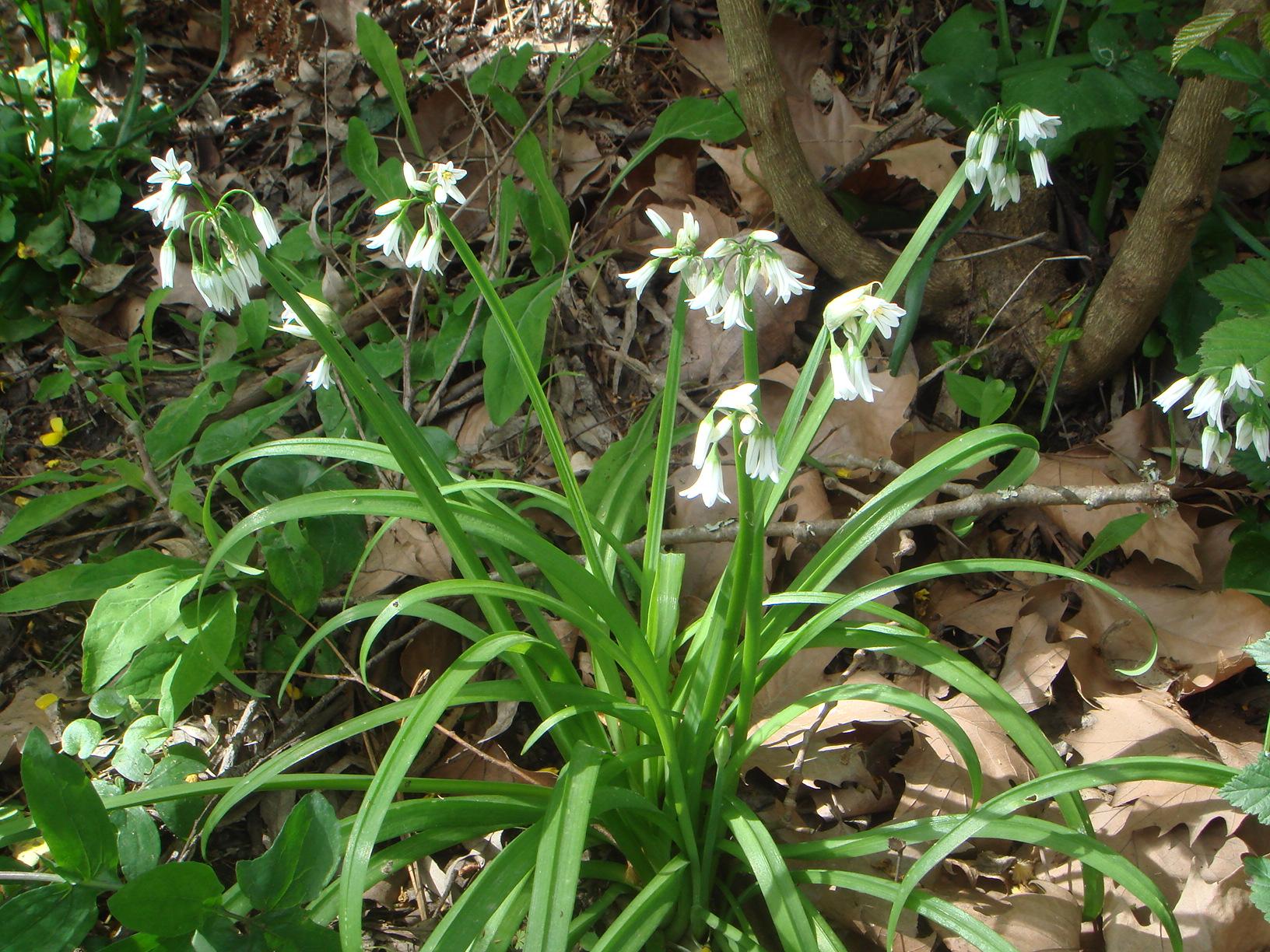 File allium triquetrum 2 jpg wikimedia commons for Aglio pianta