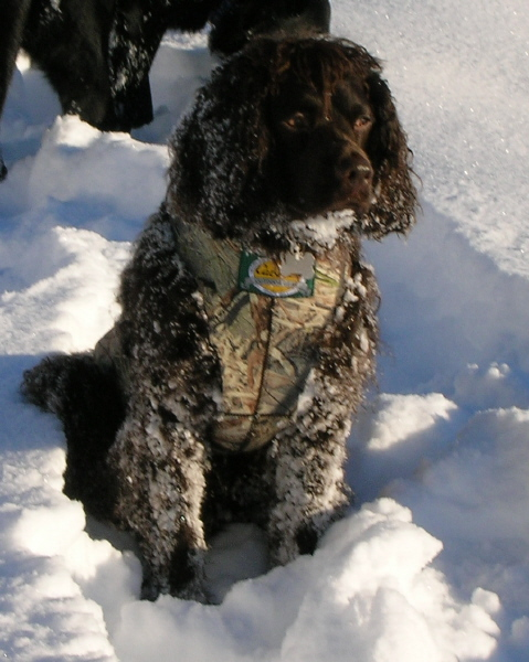 American Water Spaniel  | Electric pet collar