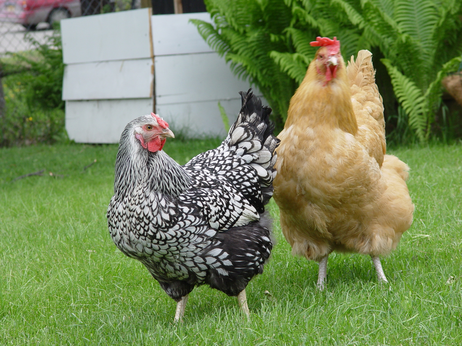 Image result for chickens