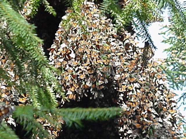 monarch butterfly hibernation