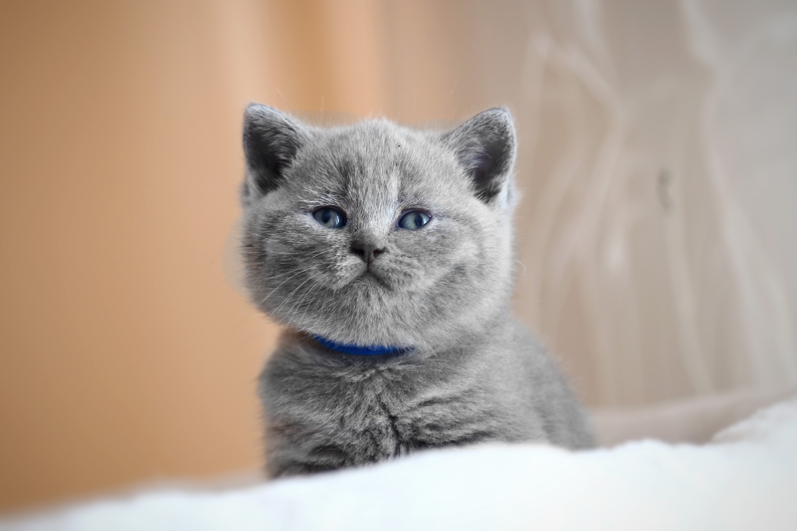 british short hair kittens - HD 2560×1707