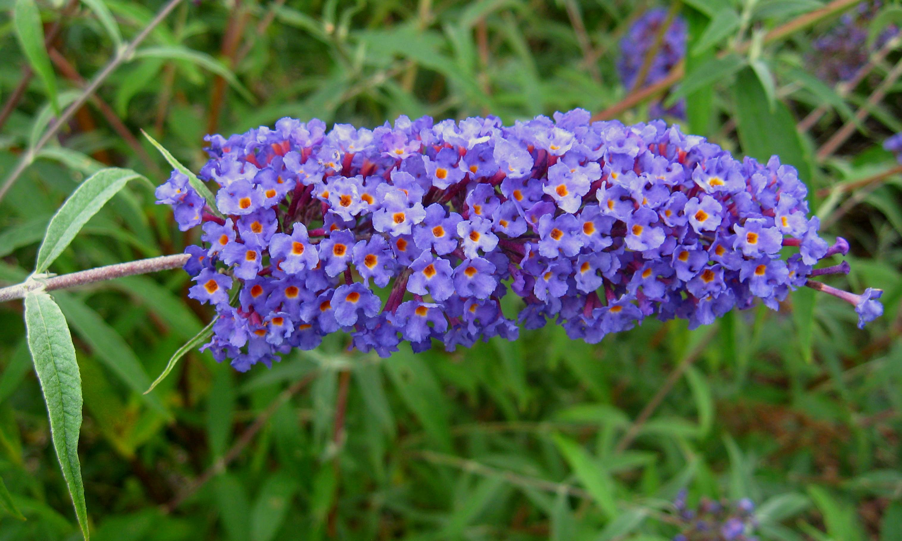 Image result for butterfly bush nanho blue