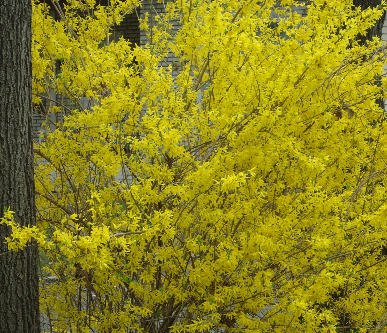 Filebush flowering next to tree njg wikimedia commons filebush flowering next to tree njg mightylinksfo