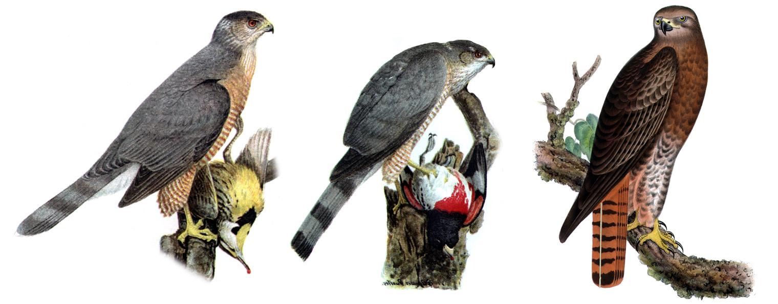 Enhawk Bird Wikipedia
