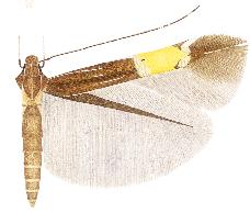 <i>Cosmopterix thyone</i> species of insect