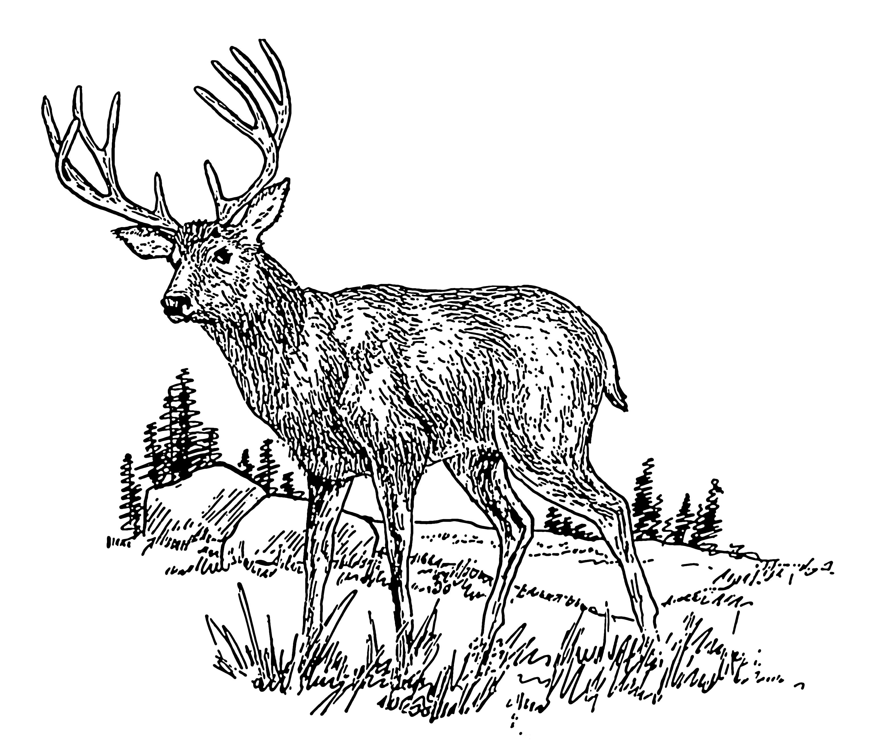Line Drawing Deer : File deer psf wikimedia commons