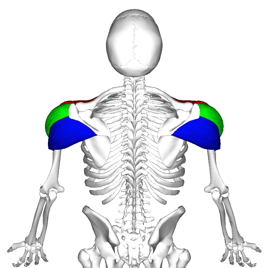 File:Deltoid muscle back4.png - Wikimedia Commons