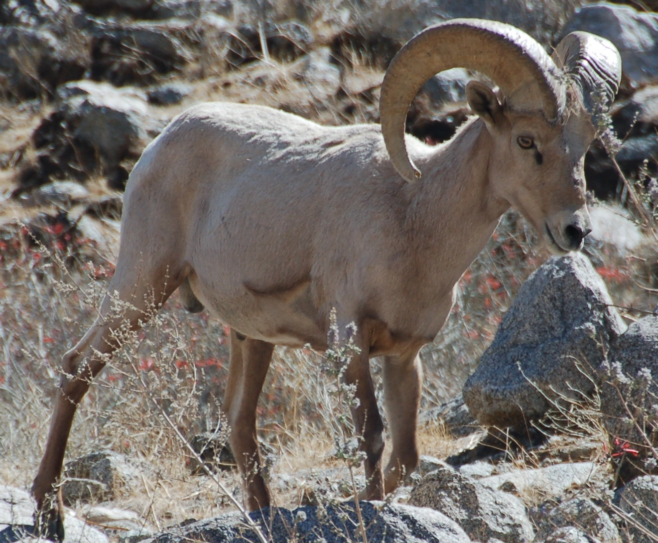 Desert Bighorn Sheep Wikipedia