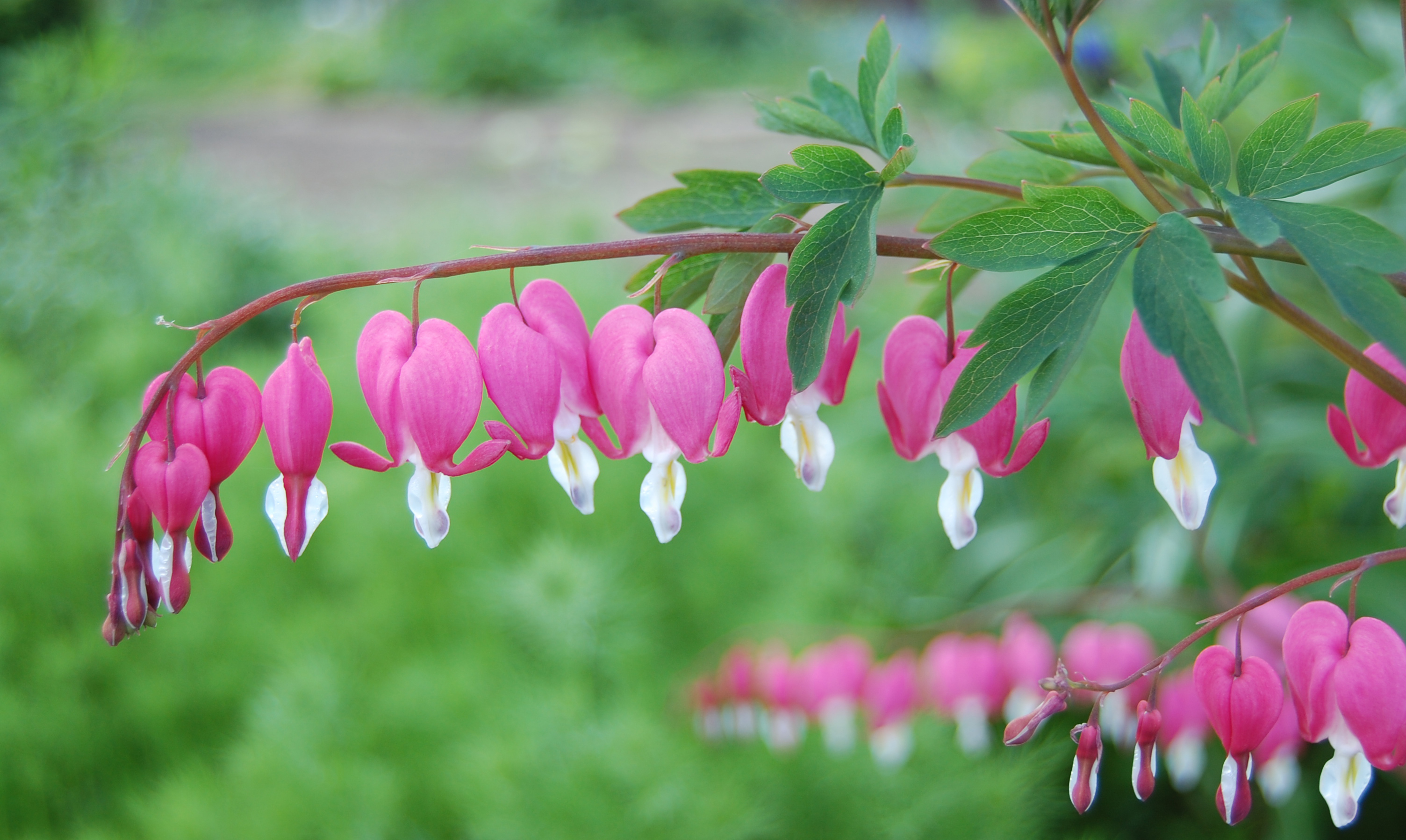 Dicentra bleeding hearts