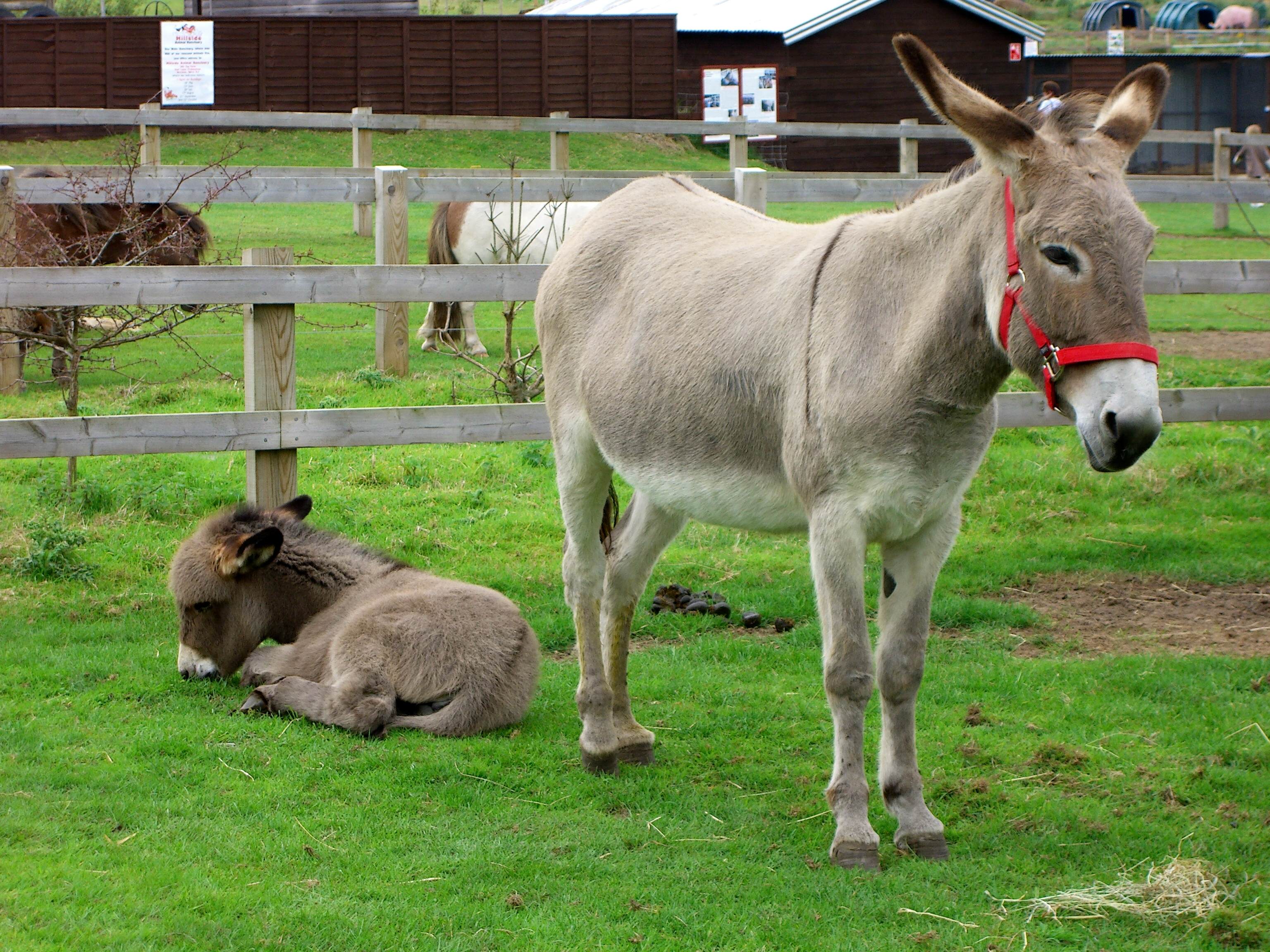 Farm donkeys - photo#1