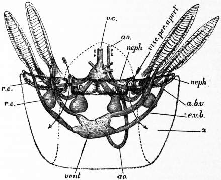 EB1911 Cephalopoda Fig. 11.—Relations of the four nephridial sacs, viscero-pericardial sac, heart and large vessels in Nautilus.jpg
