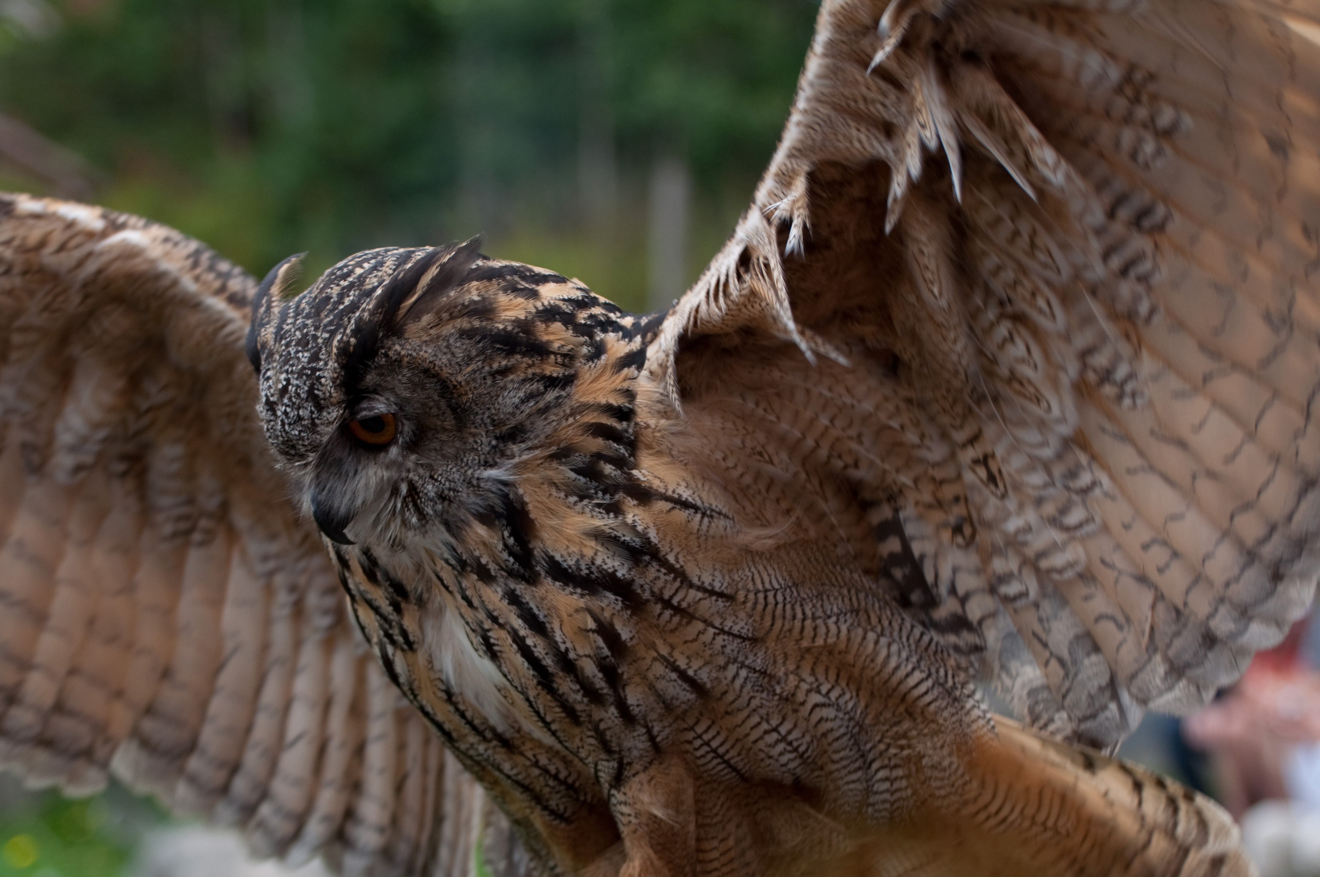 Fileeagle Owl Wings Spread 7913350190jpg Wikimedia Commons