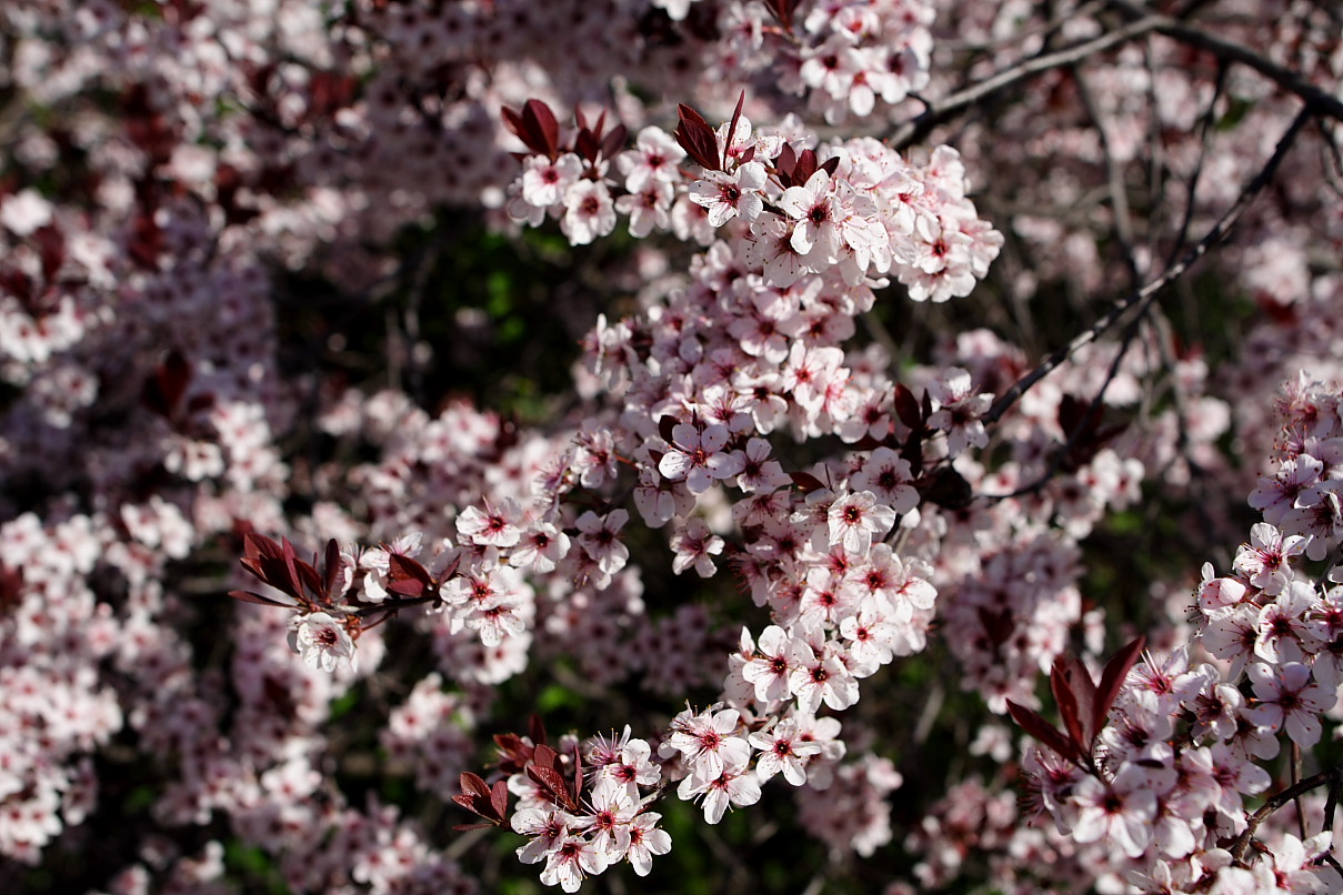 What is a flowering plum tree?