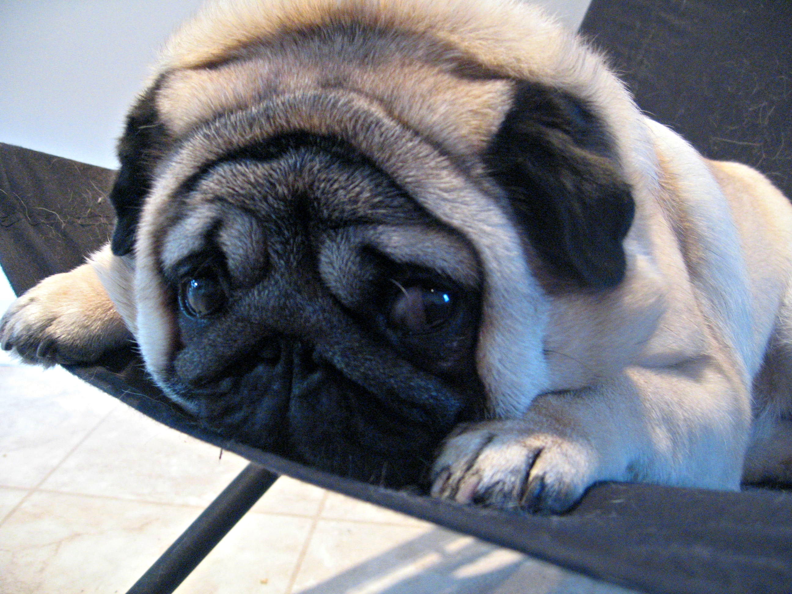Description Gadget the pug expressive eyes.jpg