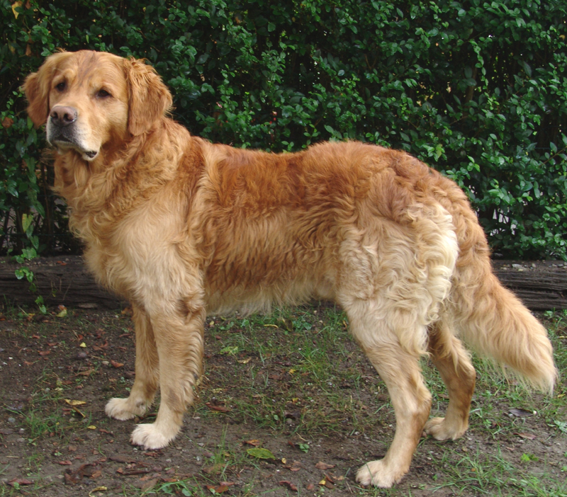 adult golden retrievers