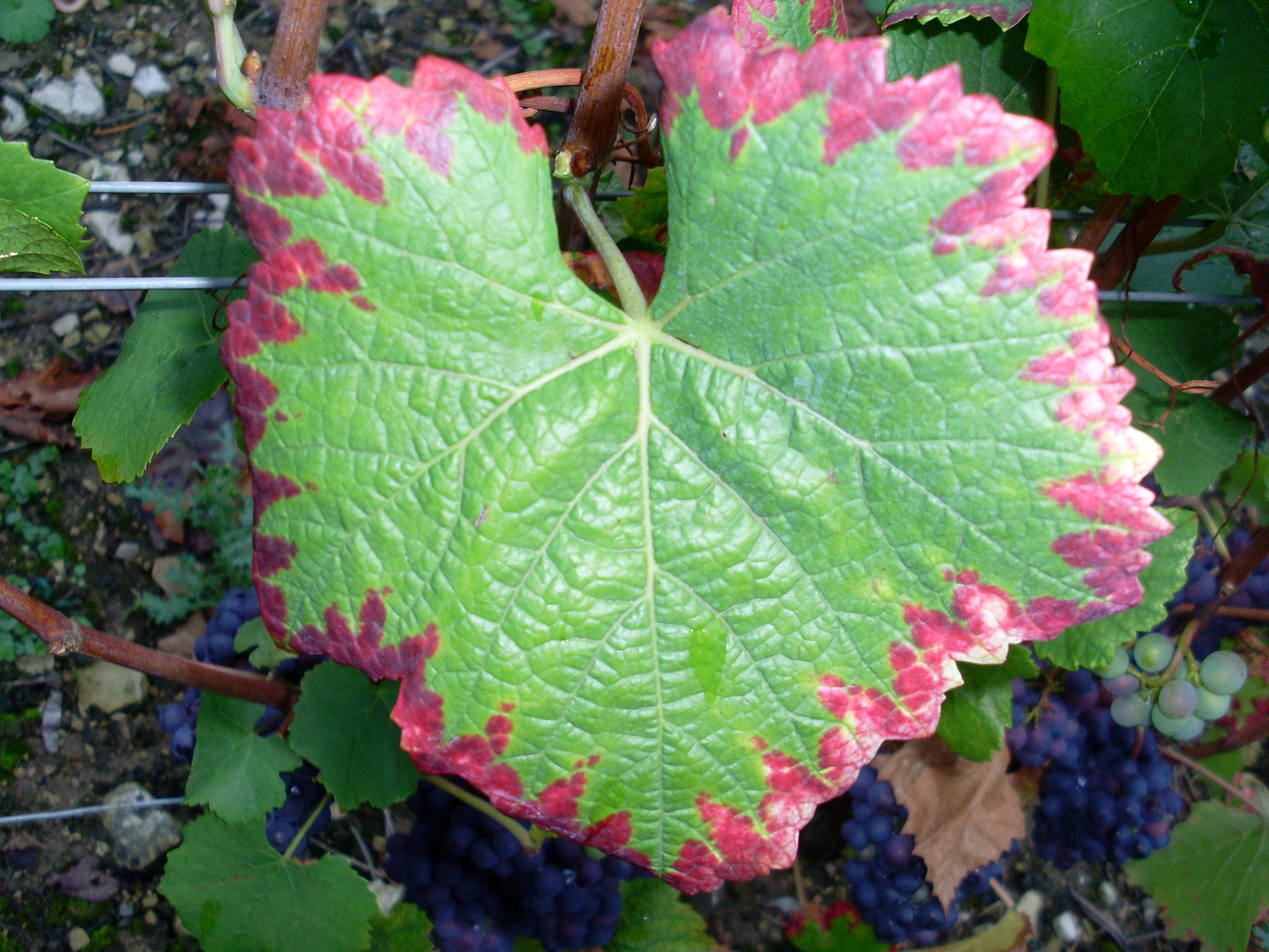 File:Grape leaf showing nutrient deficiency jpg - Wikimedia