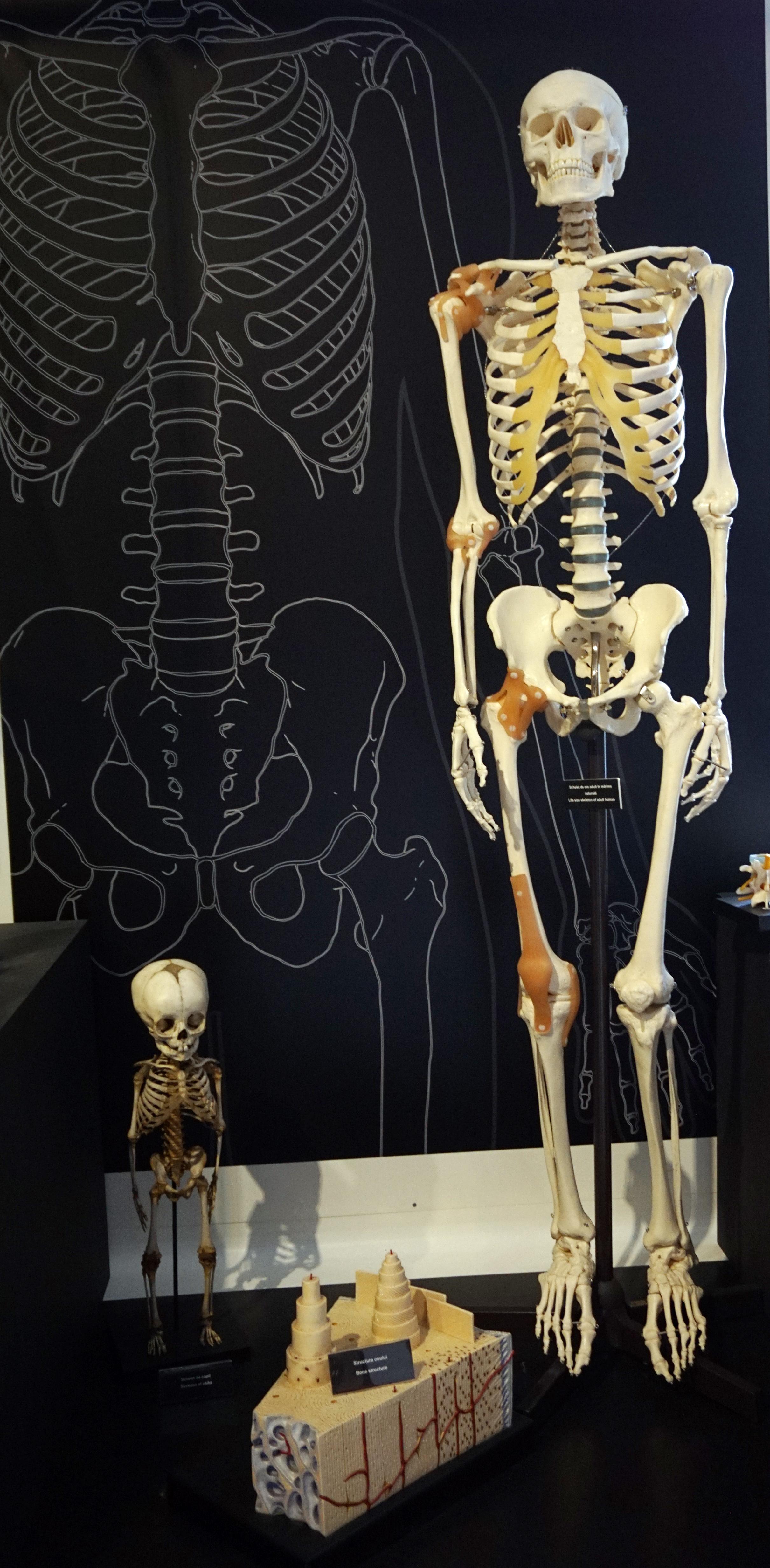 Filehuman Skeletonsg Wikimedia Commons