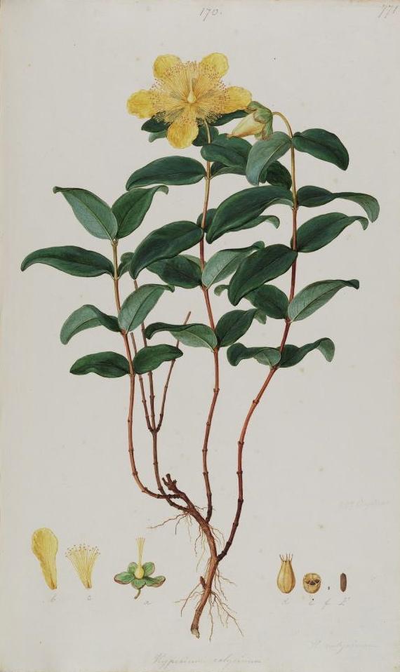 hypericum calycinum   wikipedia